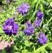 aquilegia_blue-barlow