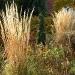 calamagrostis_herbstgold