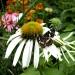 echinacea-mit-besuchern